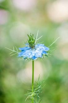 ニゲラの花(ぱくたそ)
