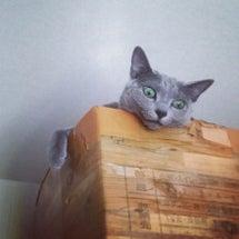 【愛猫のロシアンブル…