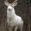 蓮如と白鹿伝説~その…