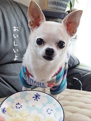 20160728チワワの小太郎