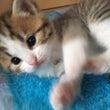 私のししょーの猫スコ…