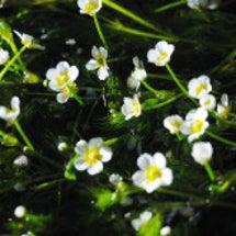 醒ヶ井宿の梅花藻ライ…