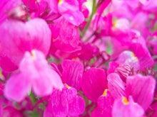 ピンクのお花(ぱくたそ)