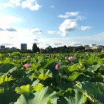 不忍池の蓮【上野公園…