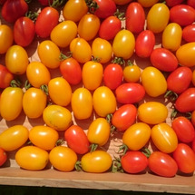 ミニトマト色づき始め…