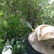 剪定前に雀蜂の巣駆除