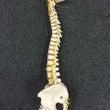 脊柱の生理的彎曲