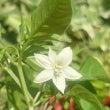 唐辛子の花