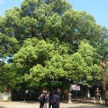長崎の被爆樹