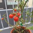 【家庭菜園】ミニトマ…