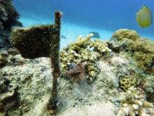 20160714100株サンゴ
