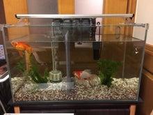 親金魚水槽60cm