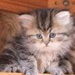NNO3のペルシャ猫…