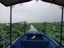 伊豆沼のハス その2