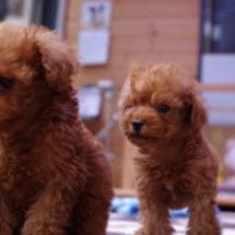 トイプードル子犬 8…