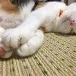 お昼寝もふ猫