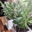 ホワイトセージの鉢植…
