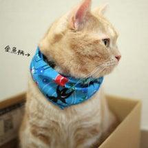 金魚スタイ猫。