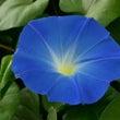ヘブンリーブルー咲き…