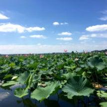lotus swam…
