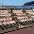 神奈川県 真鶴町 魚…