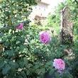 今日の庭201608…