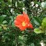 武蔵野公園に咲くオレ…
