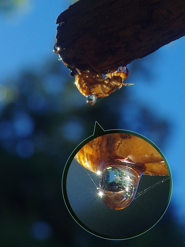 160821sセミの抜け殻 水滴