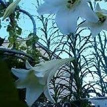 ユリが咲いてる。