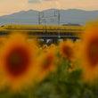 大垣向日葵畑と幸せの…