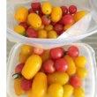 真っ赤なトマトと黄色…