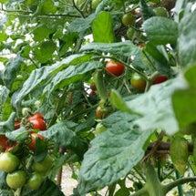 台風前にトマトを収穫…