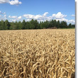 美瑛の丘で親子麦刈り…