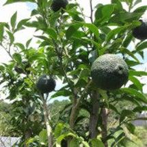 我が家の柑橘・・・
