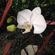 胡蝶蘭 - 開花