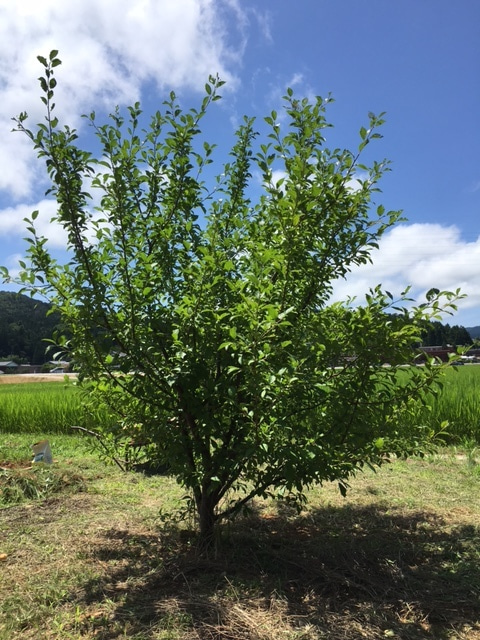 プルーンの木