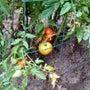 押しつけトマト