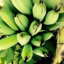【沖縄の島バナナ食べ…