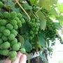 我が家のブドウ、収穫…