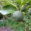 柚子 第1期 収穫へ