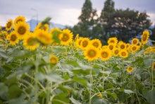 日が暮れるひまわり畑(ぱくたそ)