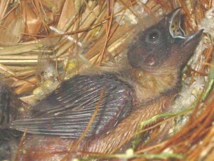 生後10~12日目:初めて3羽の顔が揃ったスナップ