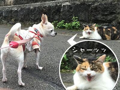 20160827ご近所ネコとチワワの小太郎