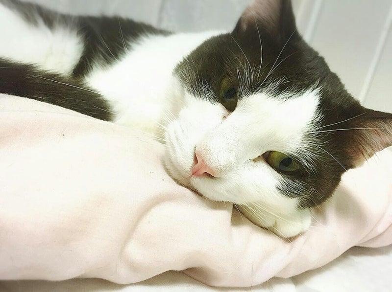 カラオケバトルからプロになった「林部 智史」さんもハチワレ猫ちゃんを飼っていました