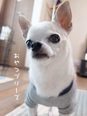 20160829チワワの小太郎