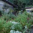 今朝のお庭。コリウス