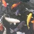 鯉がたくさん…