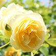 黄色のバラと憧れのブ…
