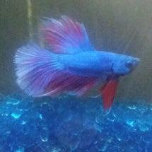 ロイヤルブルーのお魚…