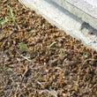 オオスズメバチ襲来